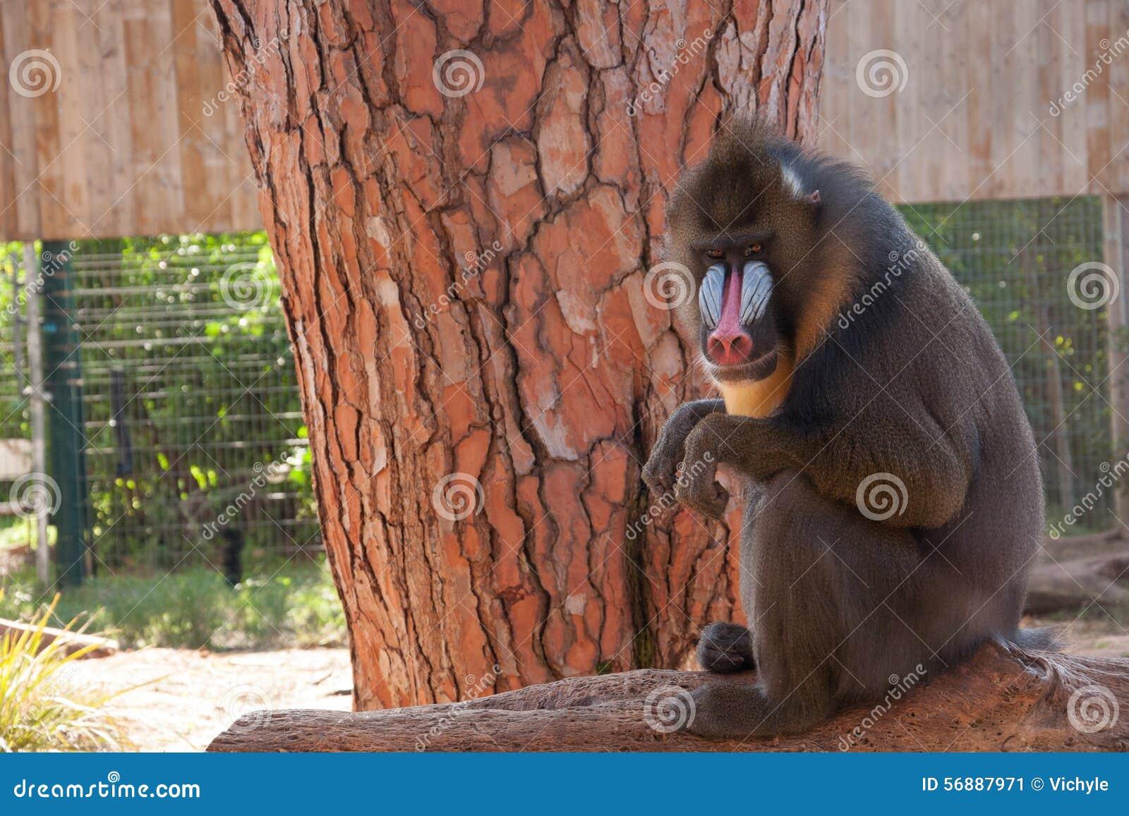 Mandrillo che si siede in un albero allo zoo