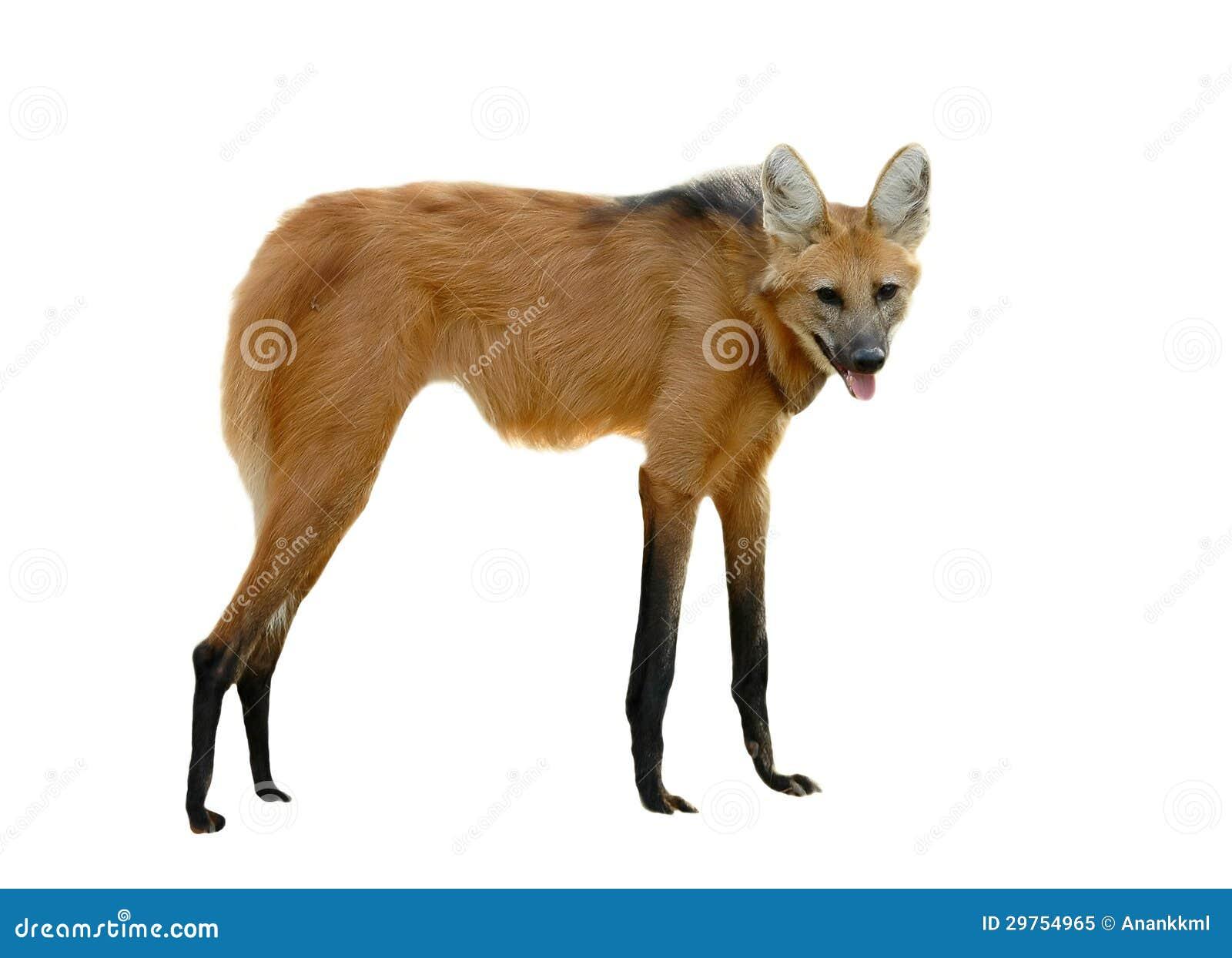 maned wolf stock image  image of beast  furry  maned