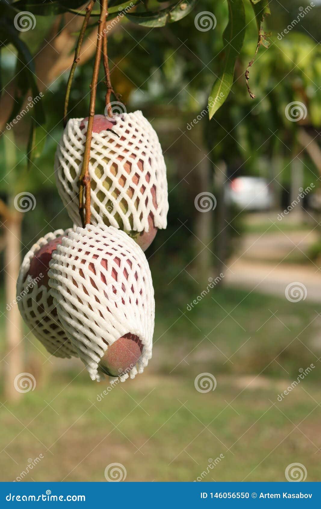 Manga maduras na árvore no jardim