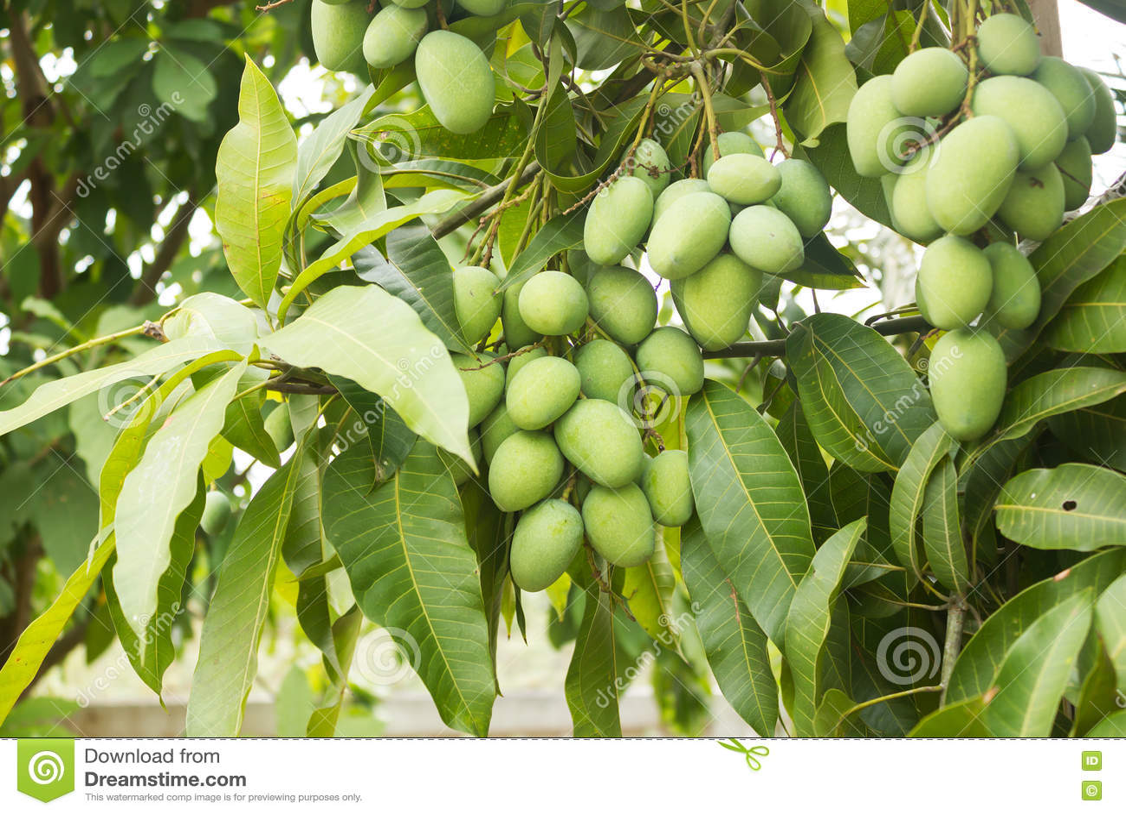 Manga verde fresca