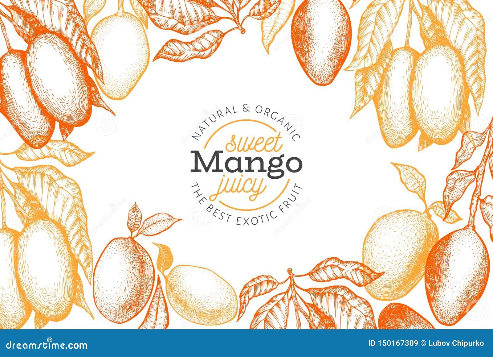 Mango design template. Hand drawn vector tropic fruit illustration. Engraved style fruit. Vintage exotic food banner