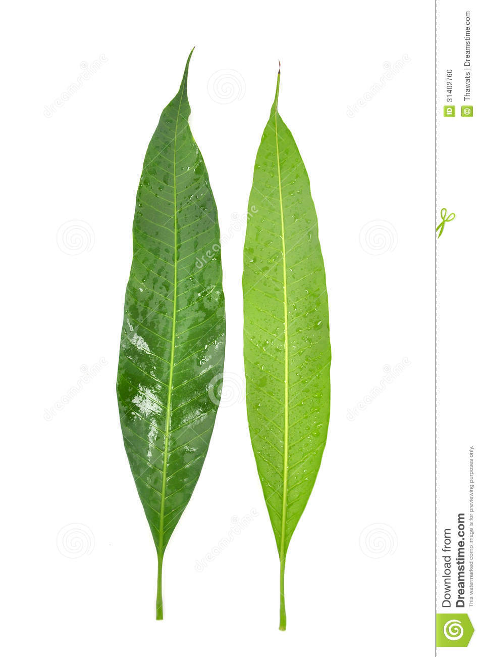 Mango leaf stock photo. Image of veins, fall, perspective