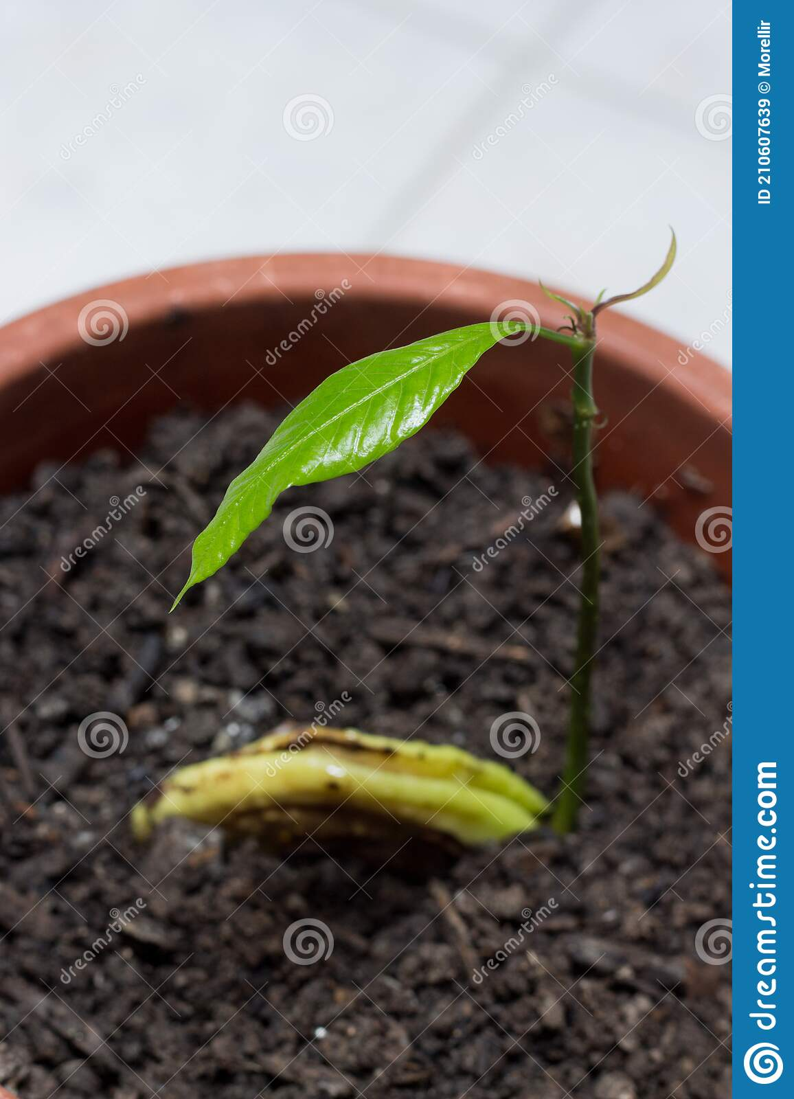 242 Mango Seedling Photos Free Royalty Free Stock Photos From Dreamstime