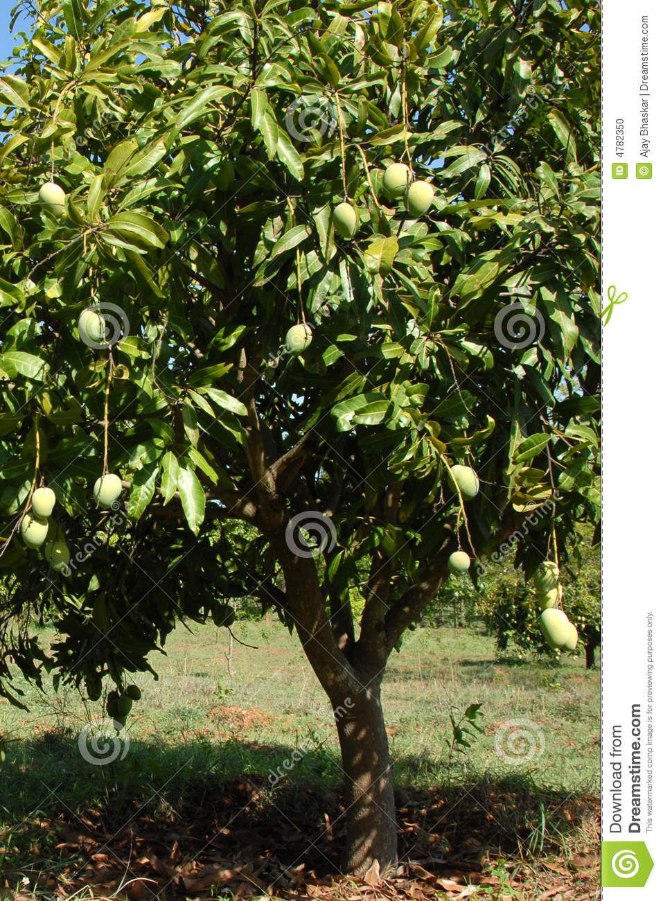 Mango Tree Stock Photo Image 4782350