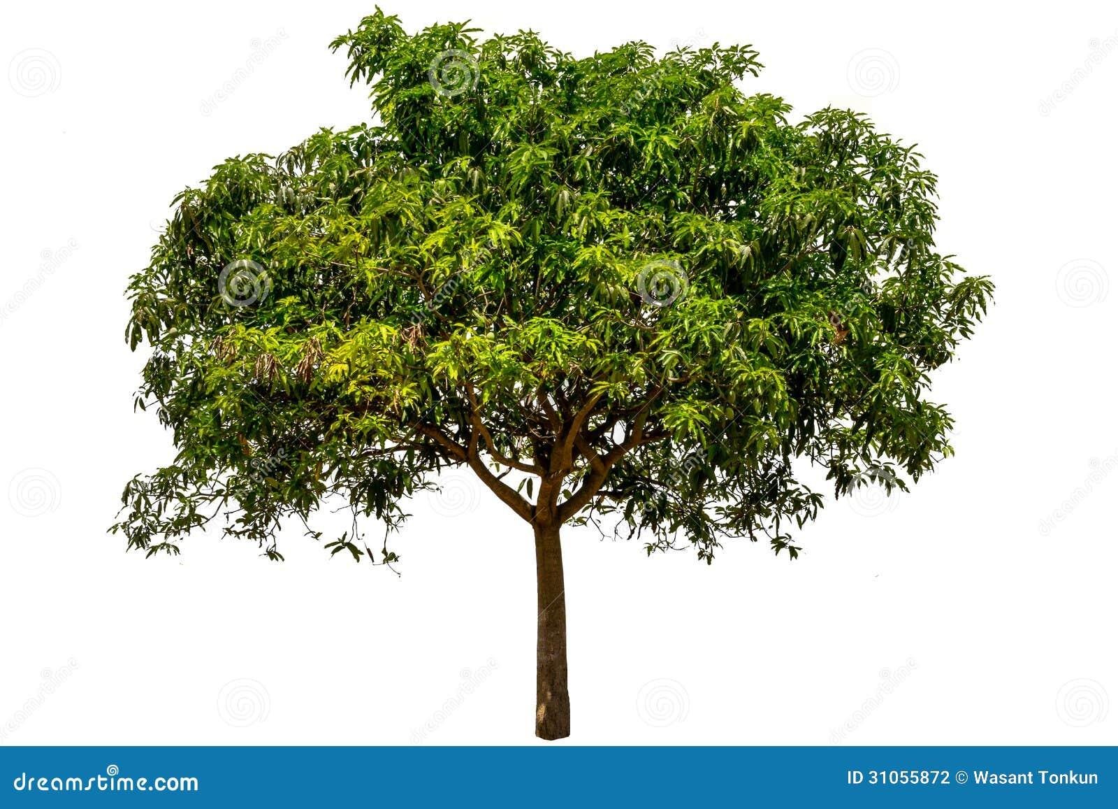 production of ethanol from mango mangifera Bioethanol production by zymomonas mobilis mtcc no modelling of ethanol production from banana peels by production of ethanol from mango (mangifera.