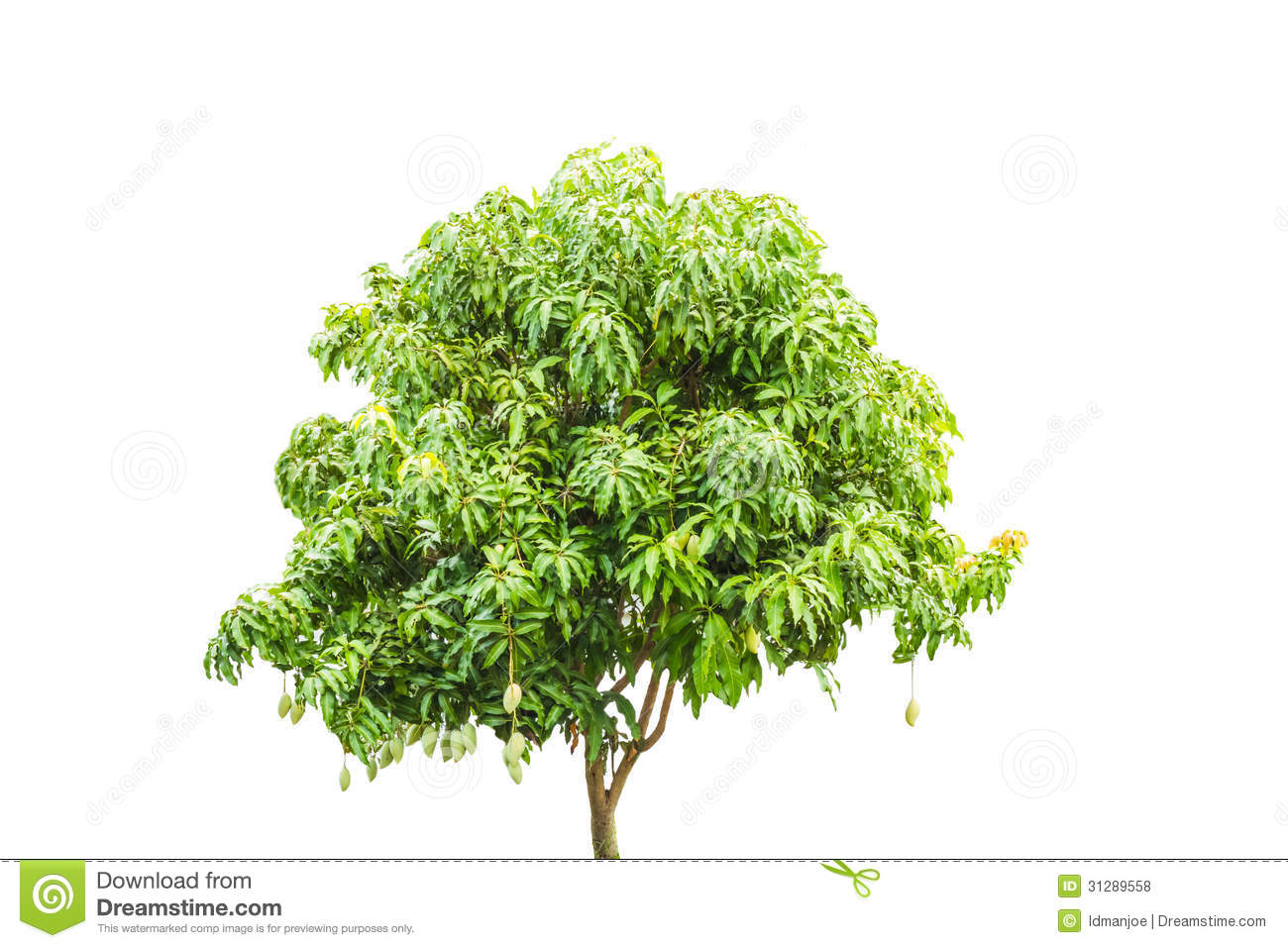 Mango Tree Royalty Free Stock Photos Image 31289558