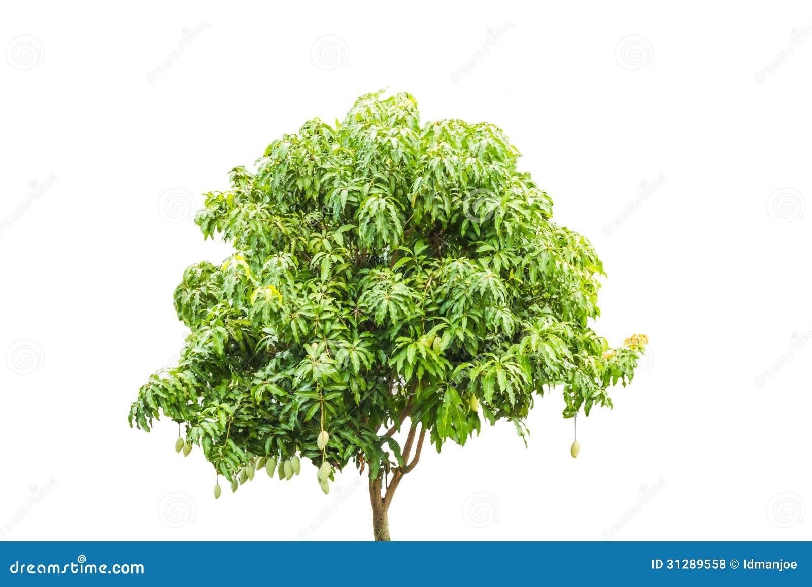 Tree Mango Vector imag...