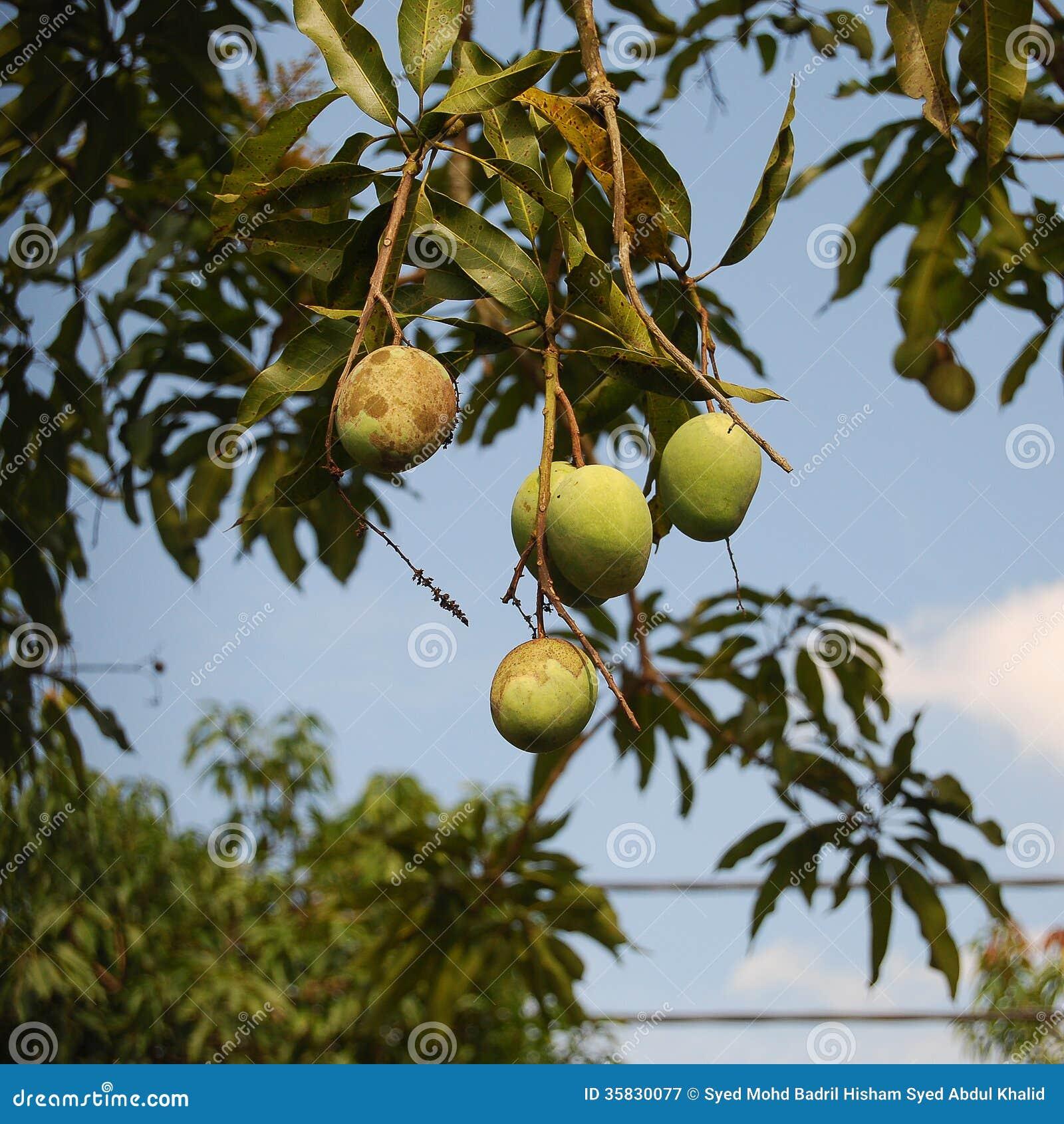 Mango tree stock image. Image of exotic, branch, group ...