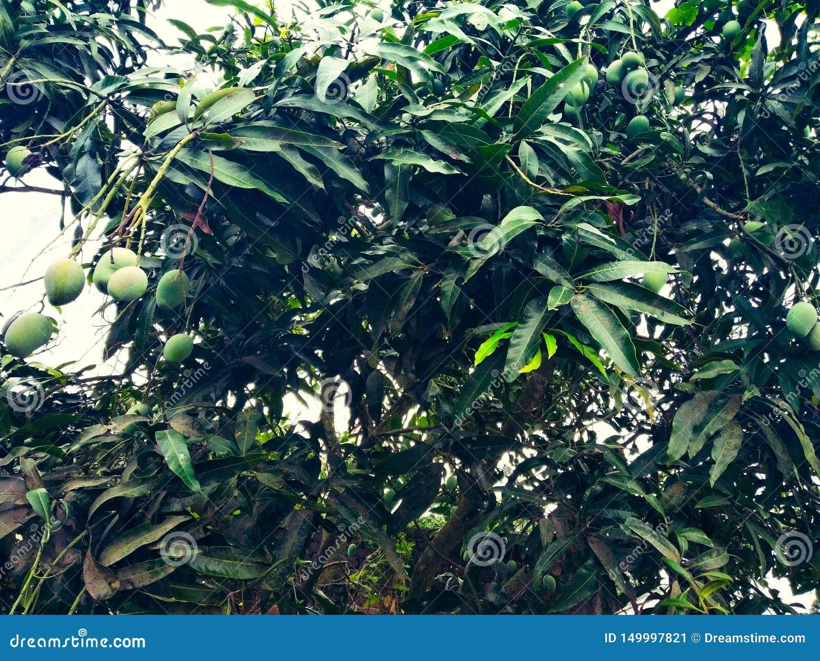 Mango w mangowym drzewie otaczającym z mangowymi liśćmi Langra Aam