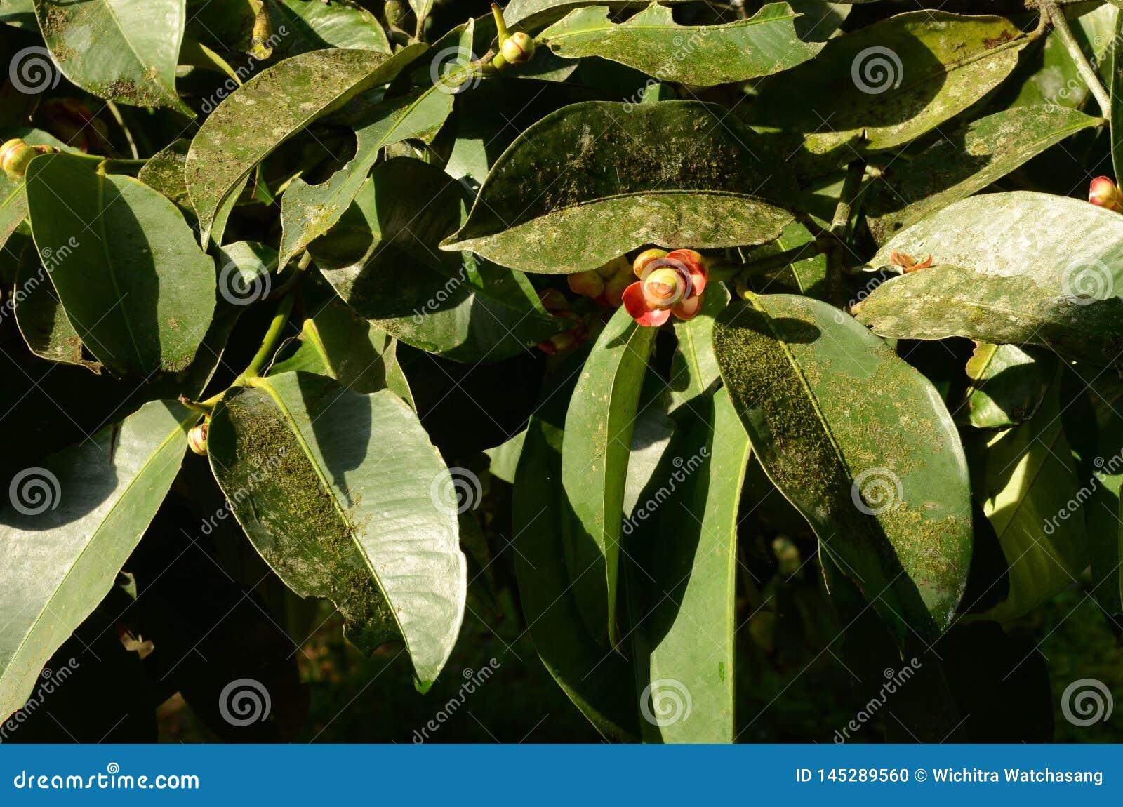 Mangosteen i fruktblomningsäsong