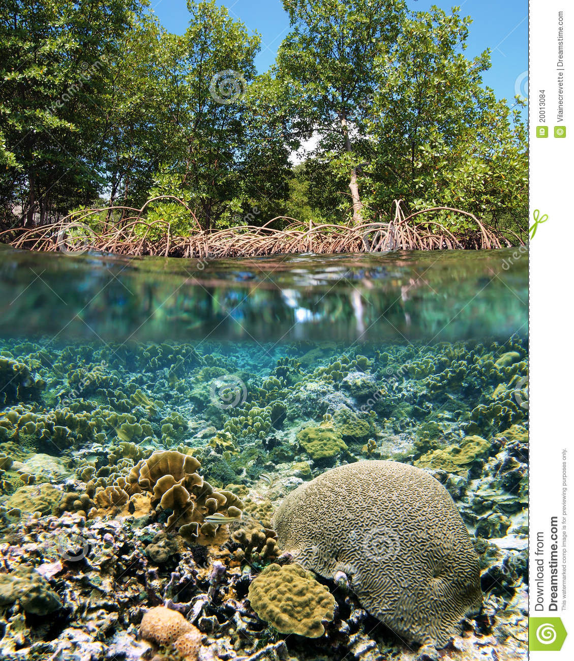 Surface and underwater view with mangrove and coral ecosystem.