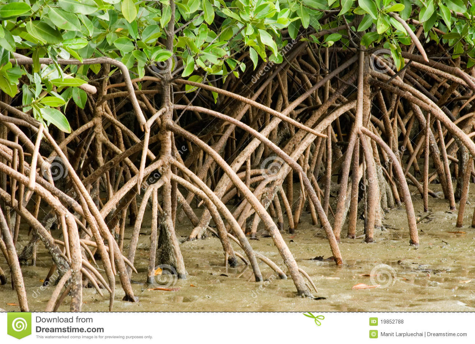 Mangrove root .