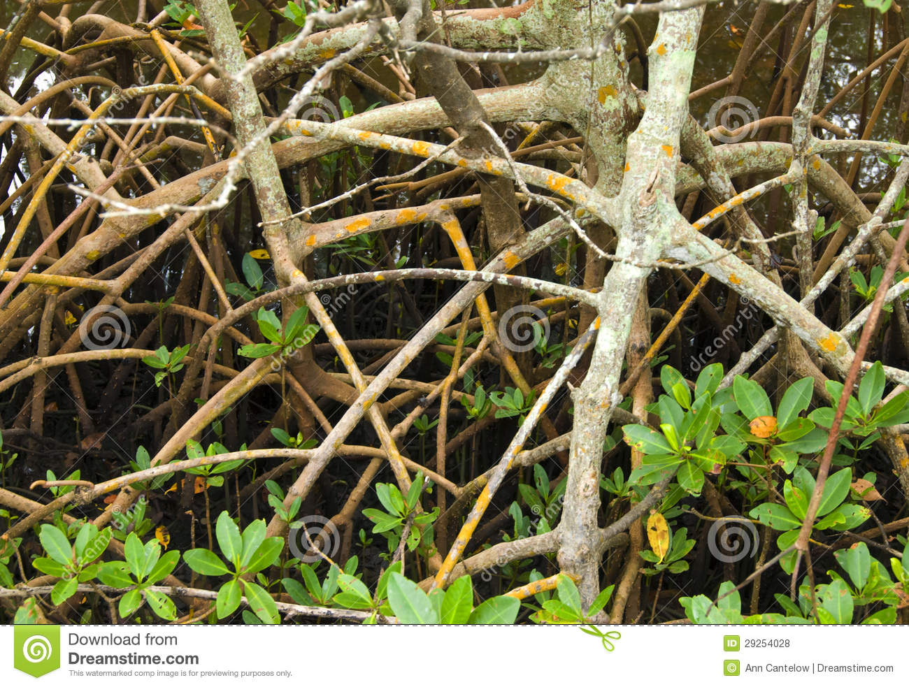 Mangrove Roots and Shoots