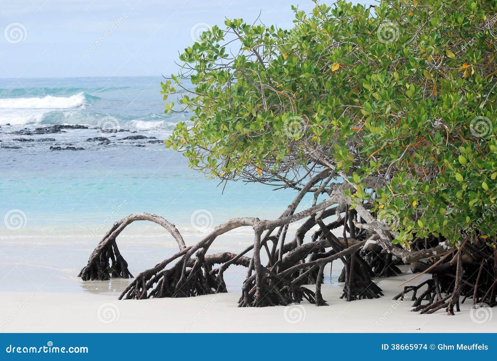 Mangrove trees growing at beach Galapagos Island