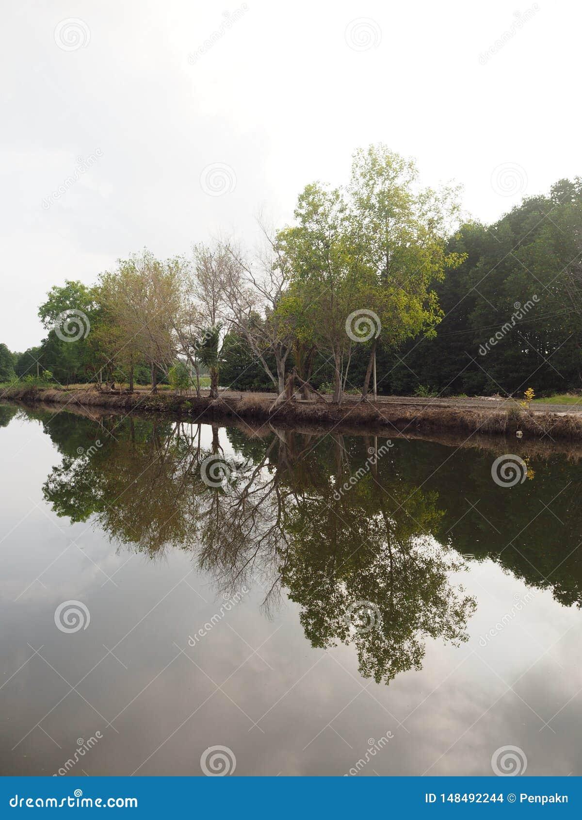Mangroveboom in intertidal bosbezinning in het water