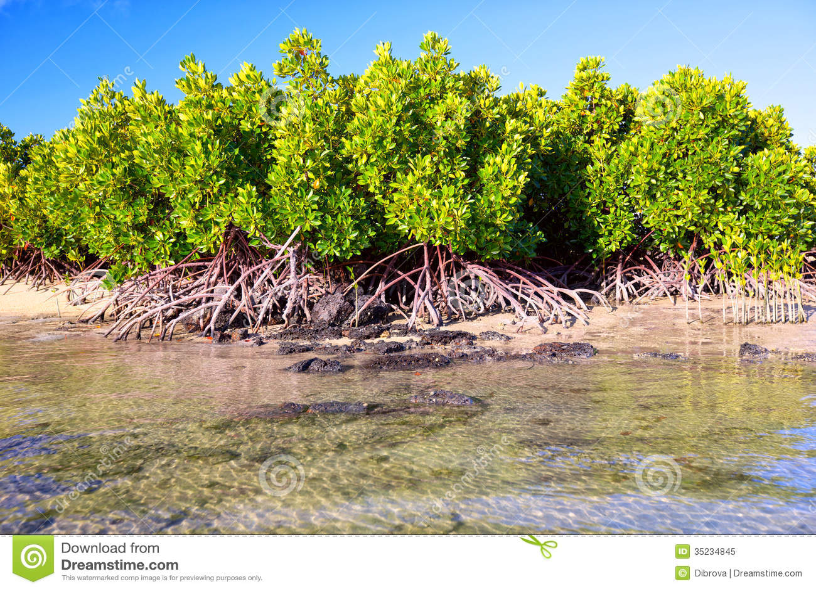 Mangroveväxter