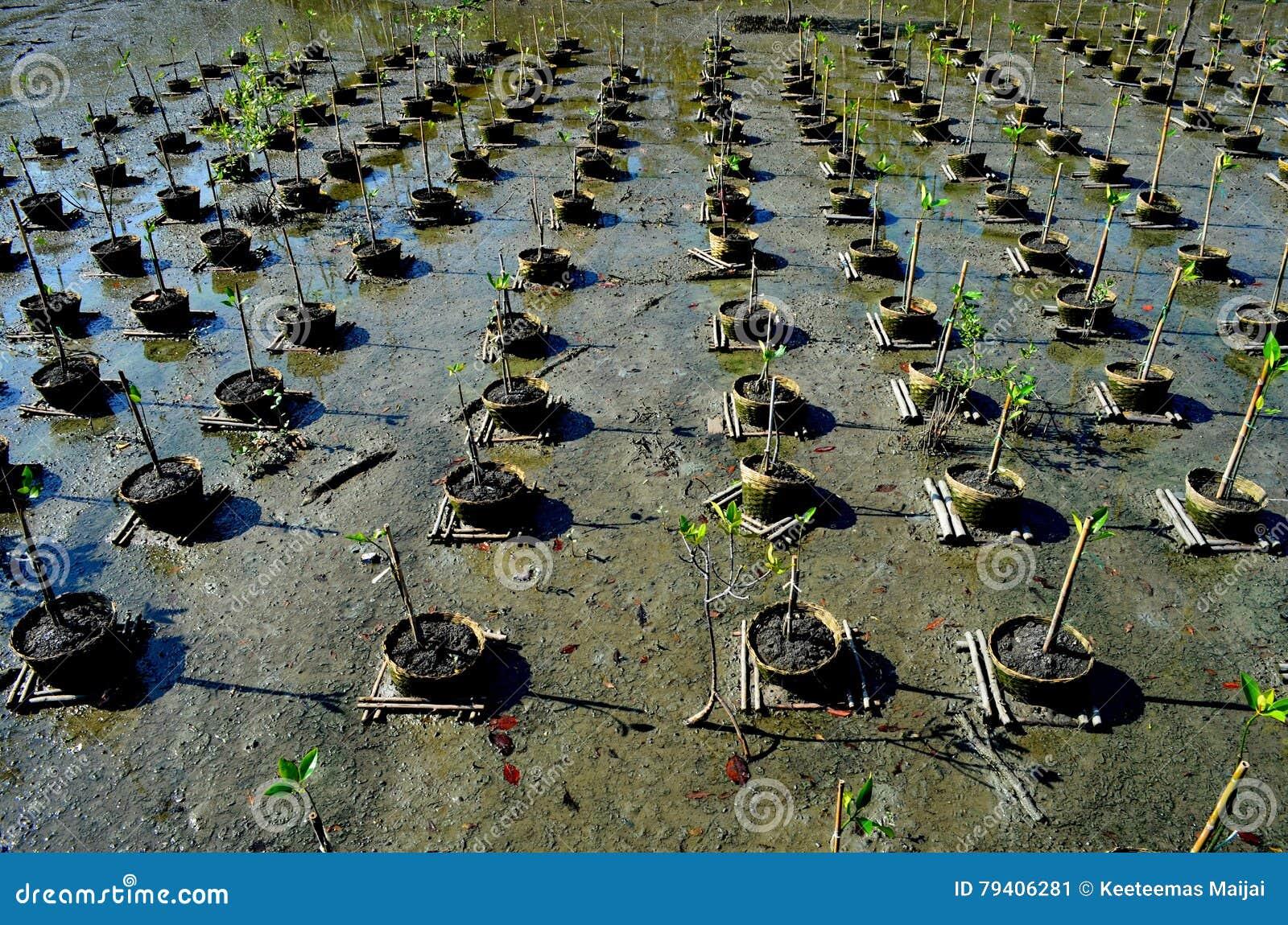 Mangrowe reforest