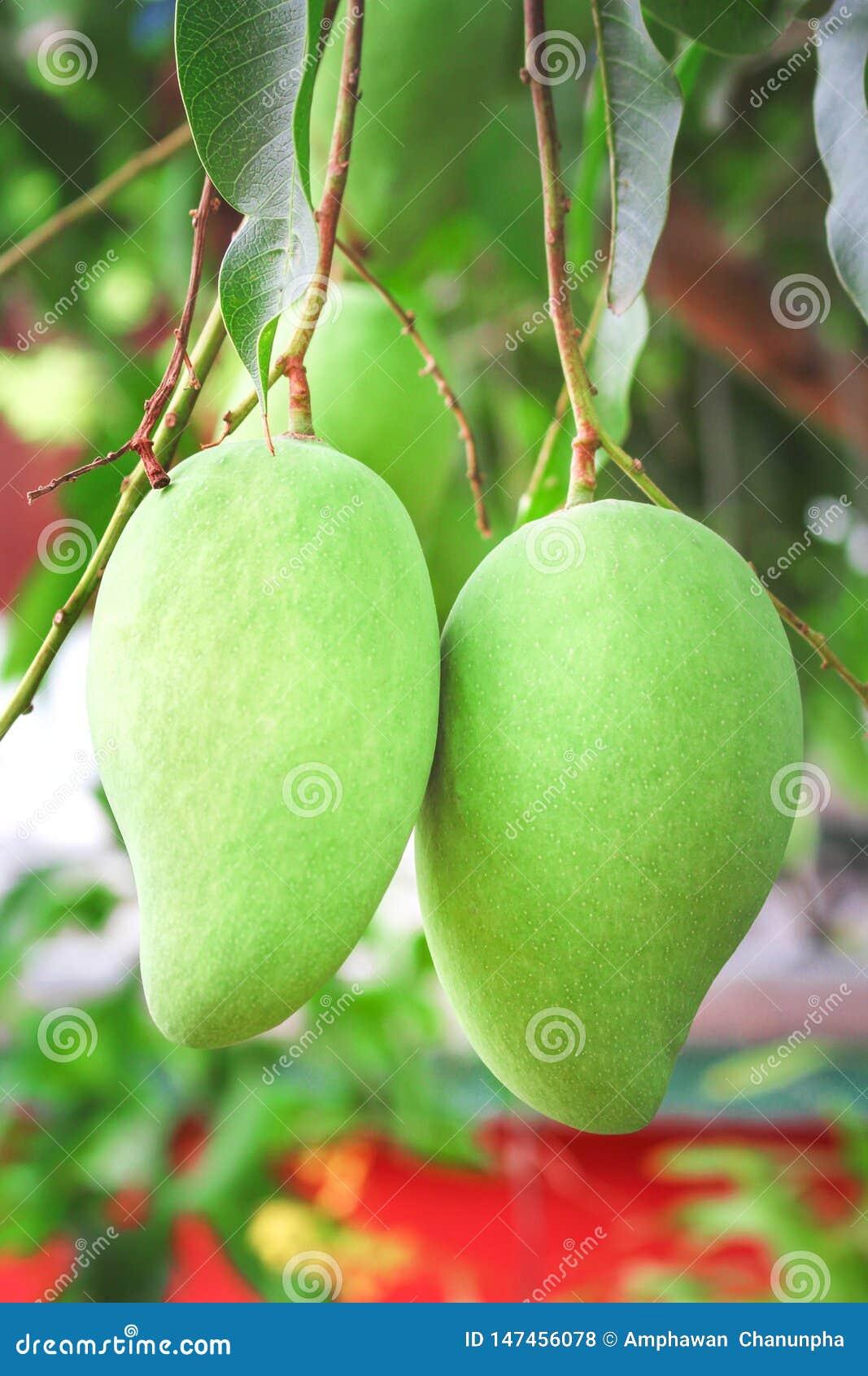Mangue deux crue accrochant sur l arbre, fruit tropical de nature