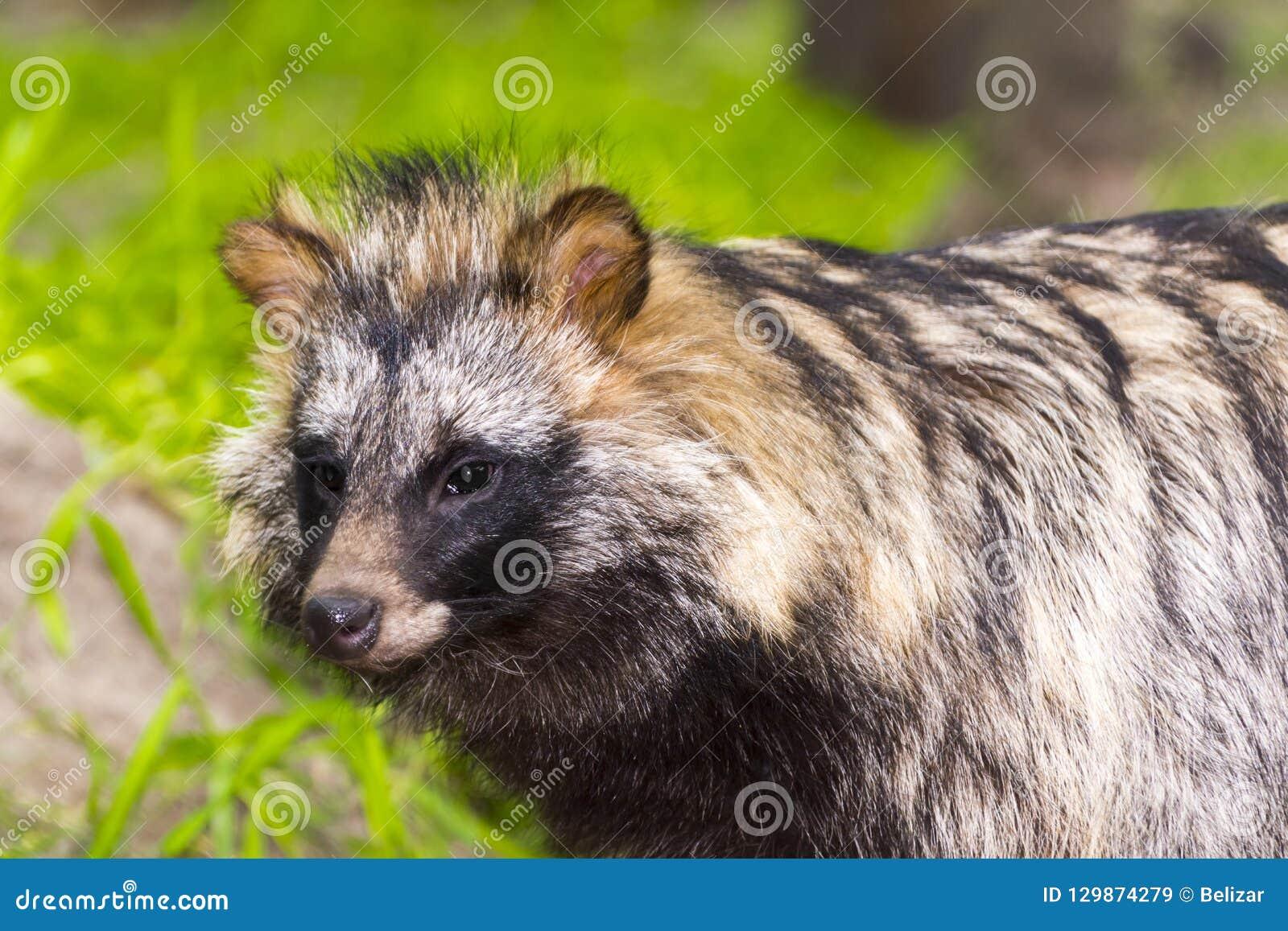 Raccoon dog or mangut