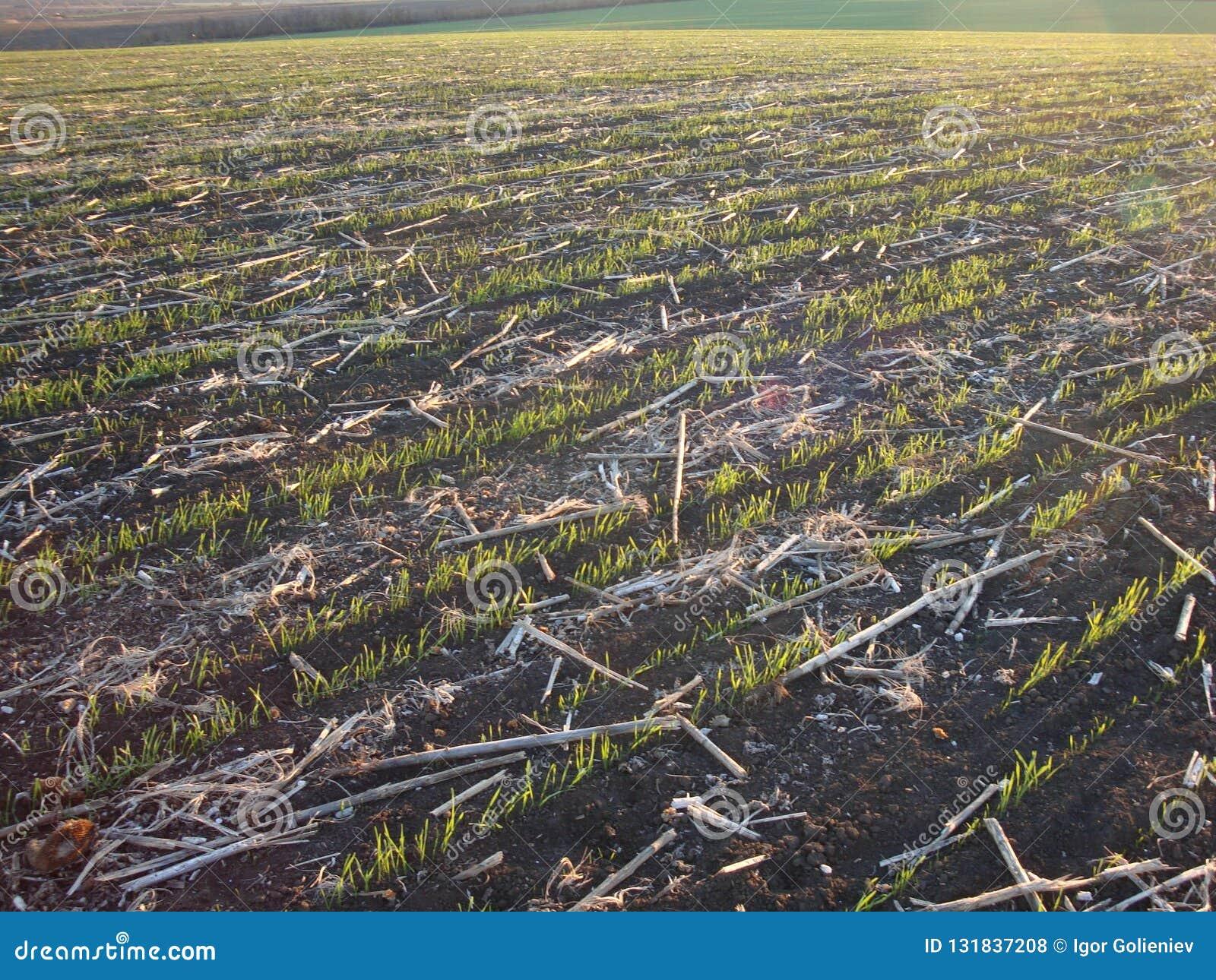 A manhã do fim do verão viola o fundo do campo após a colheita