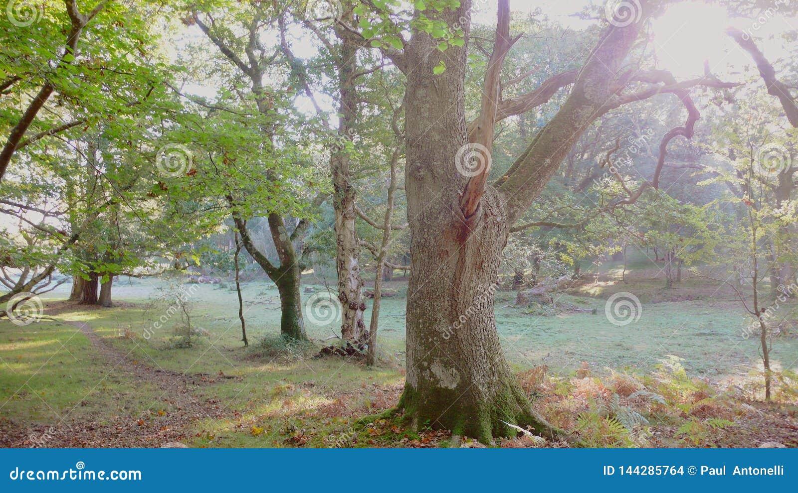 Manhã enevoada na floresta nova