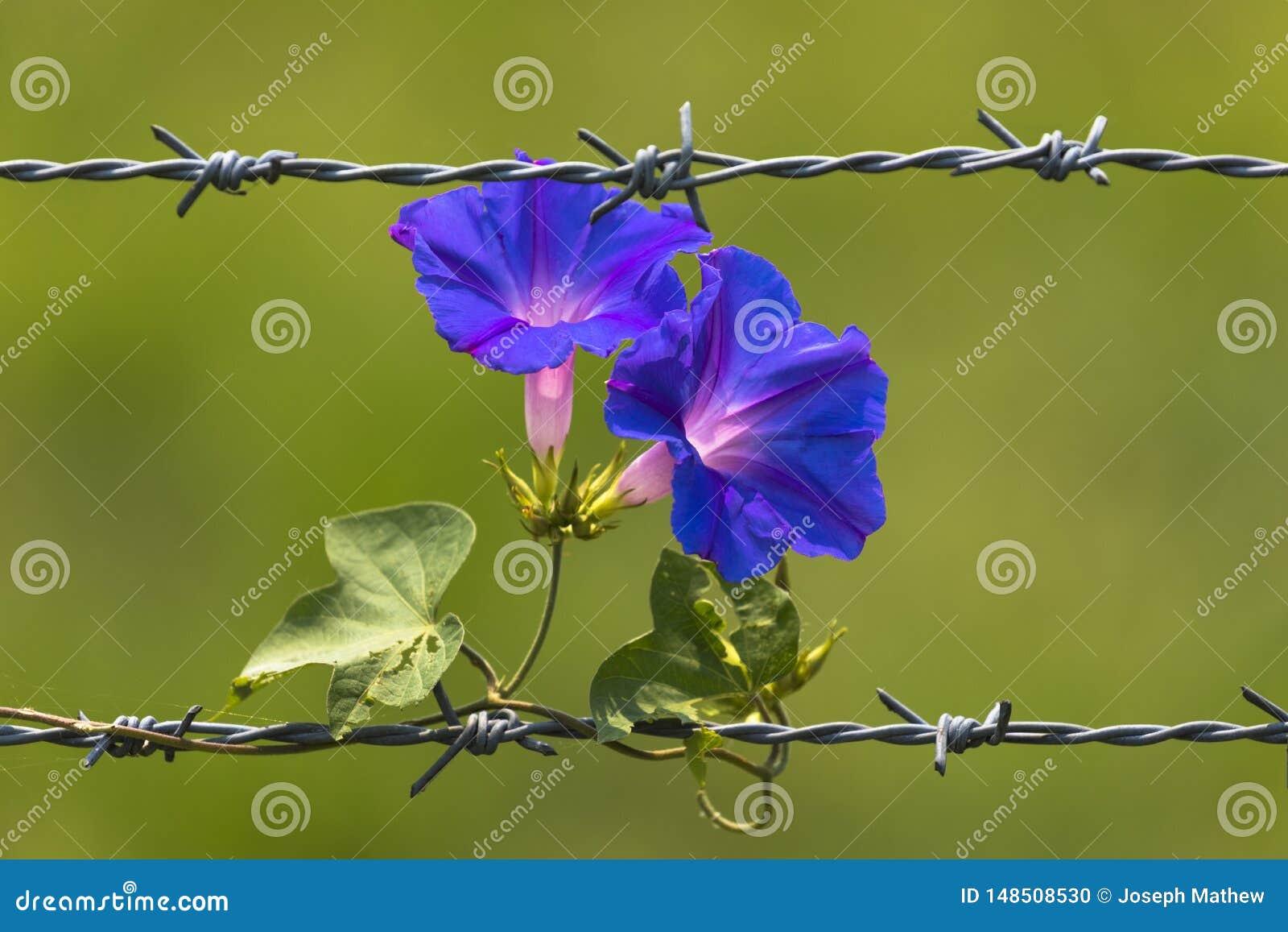 Manhã Glory Flowers que floresce no arame farpado e no fundo borrado