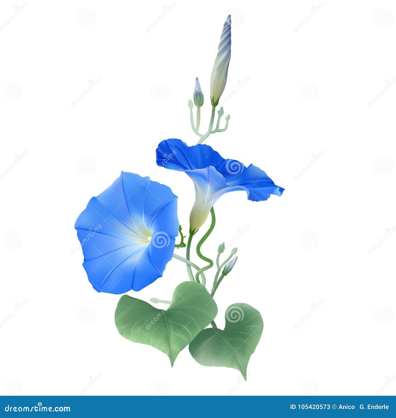 Manhã Glory Heavenly Blue