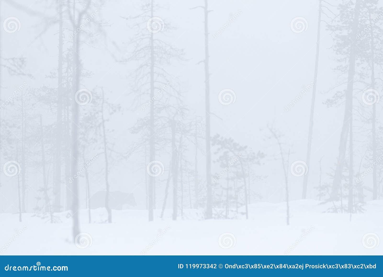 Manhã nevoenta enevoada com o urso marrom escondido Criatura perigosa na madeira da natureza, condição fria do inverno Habitat do
