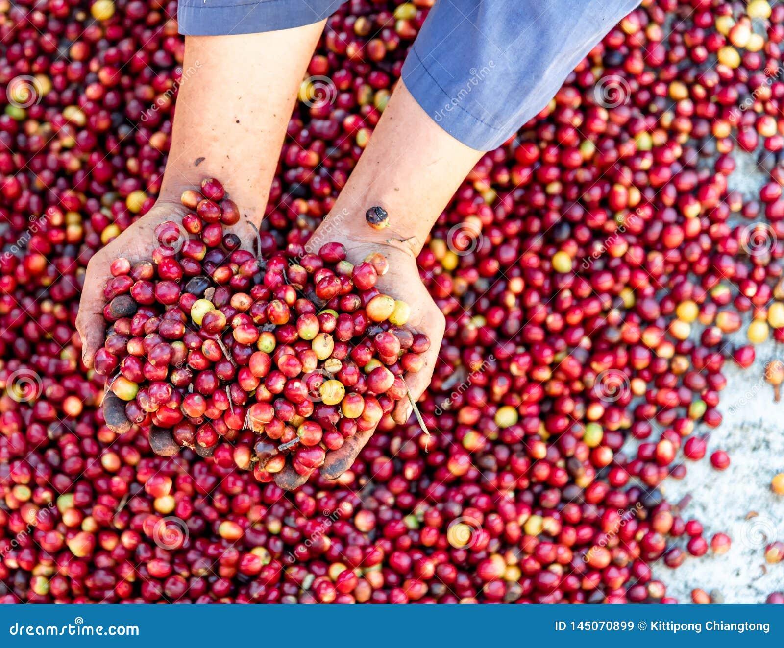 Mani crude rosse fresche dell agricoltore dell arabica dei chicchi di caffè delle bacche Agricoltura organica dei chicchi di caf