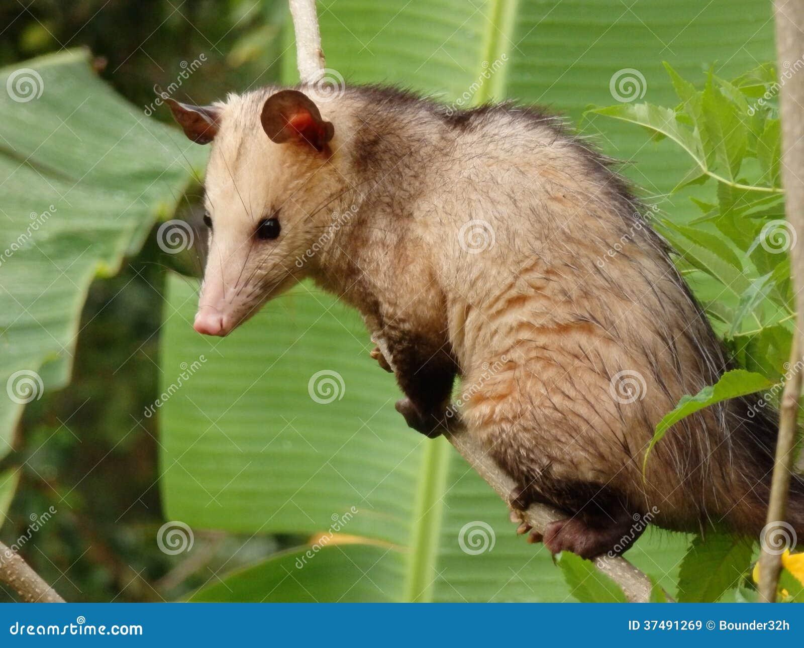 File Psarocolius decumanus  Asa Wright Nature Centre  Northern Range  Trinidad  Trinidad and Tobago 8a in addition Biche furthermore respond likewise  additionally Picture546. on trinidad animals