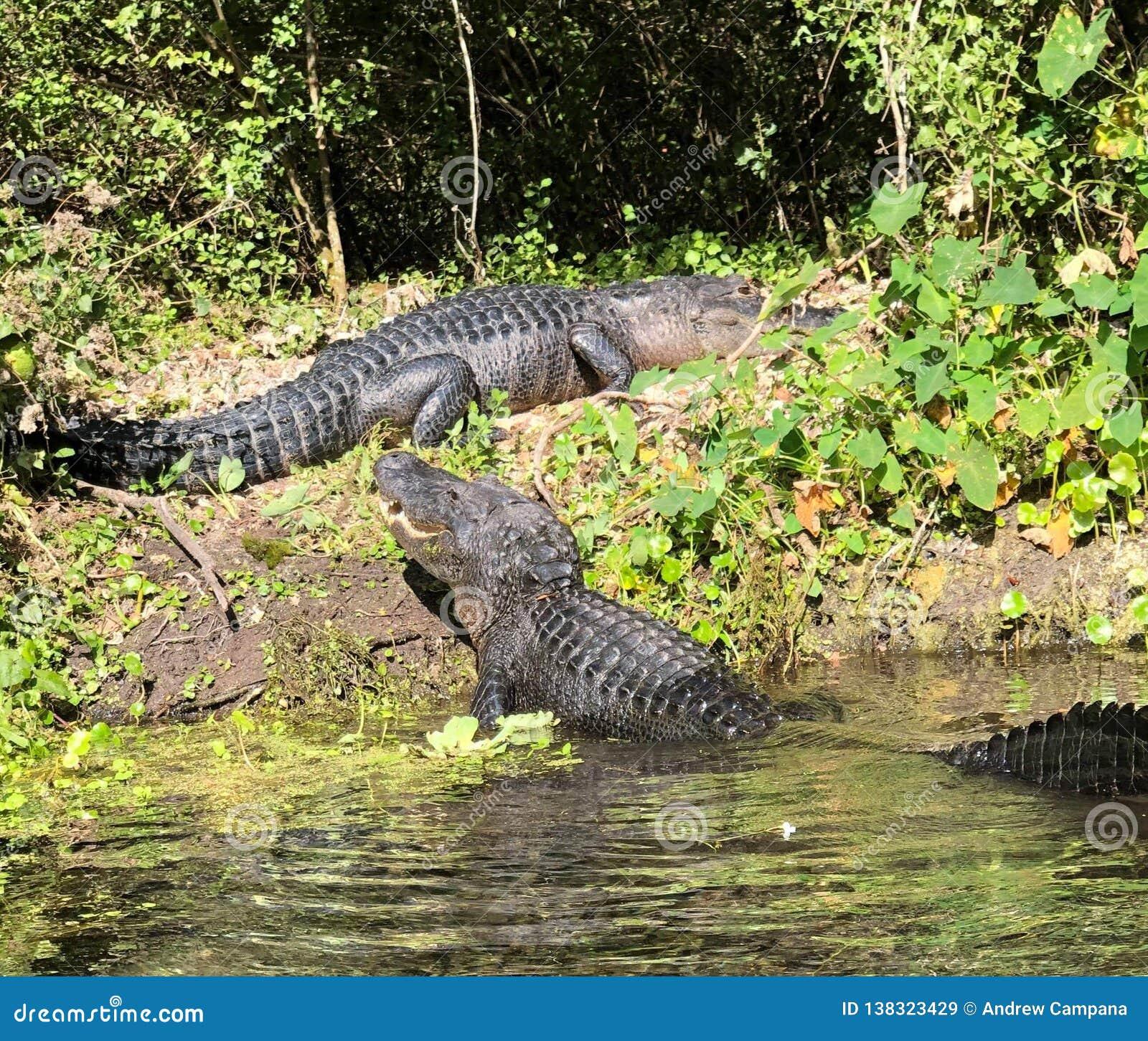 Manifestazione dell alligatore giù