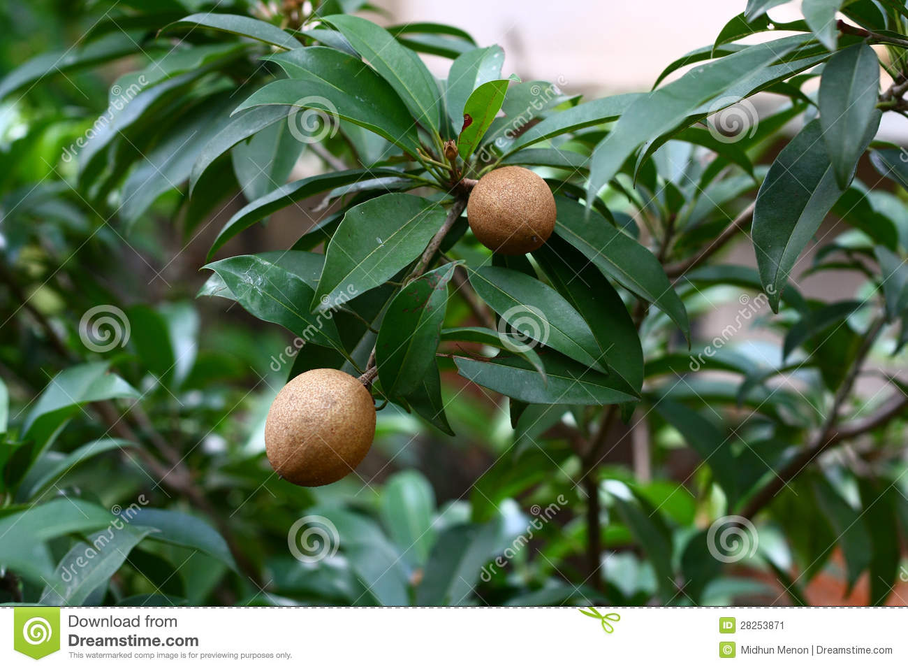 manilkara zapota sapodilla fruit on tree stock image