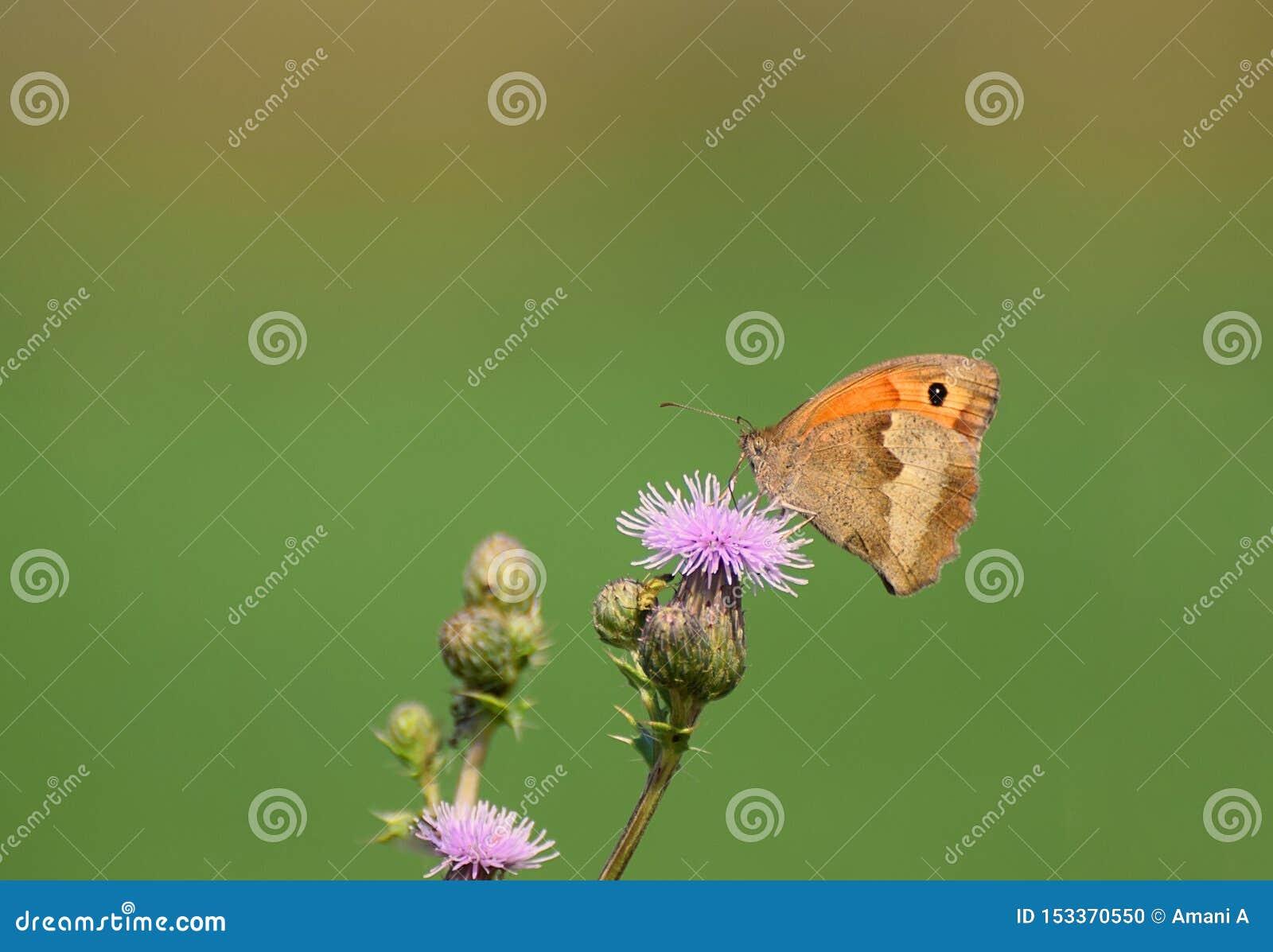 Maniola för ängbruntfjäril jurtina en tistel