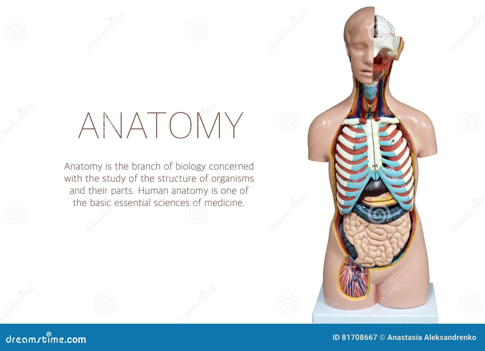 Maniquí Humano De La Anatomía Aislado En El Fondo Blanco Imagen de ...