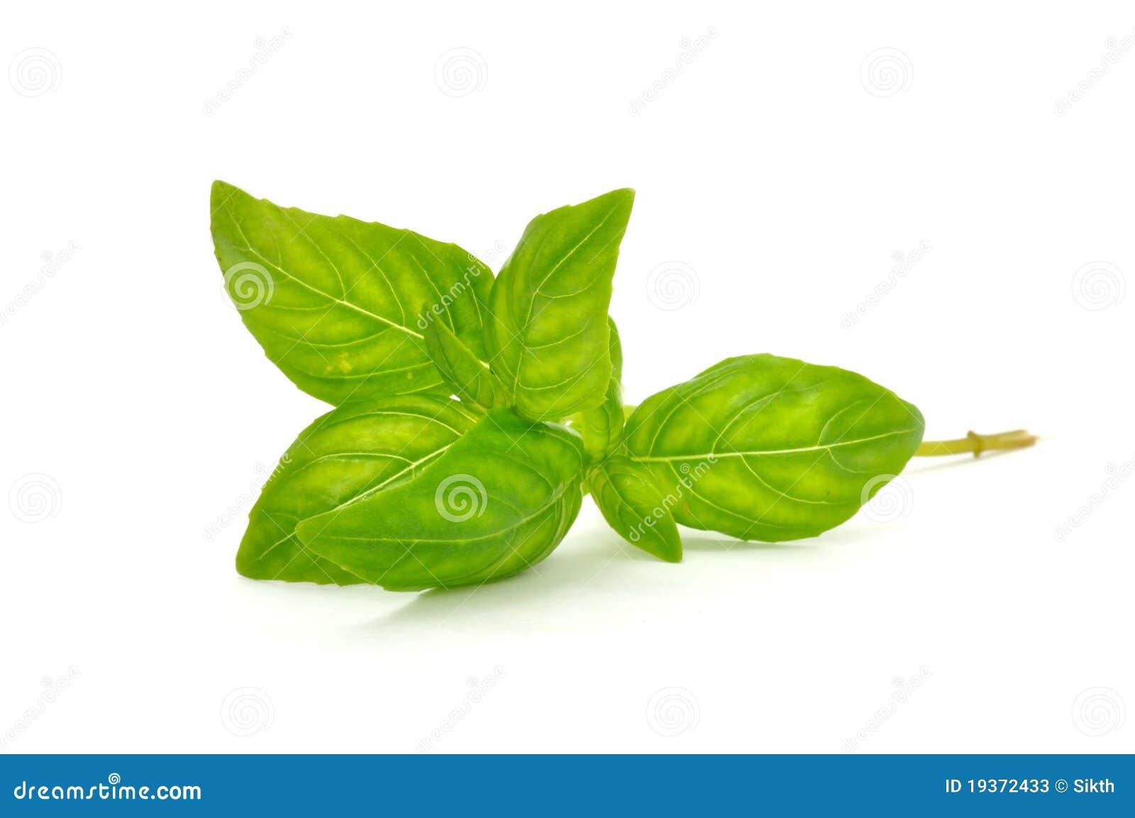 Manjericão verde fresca