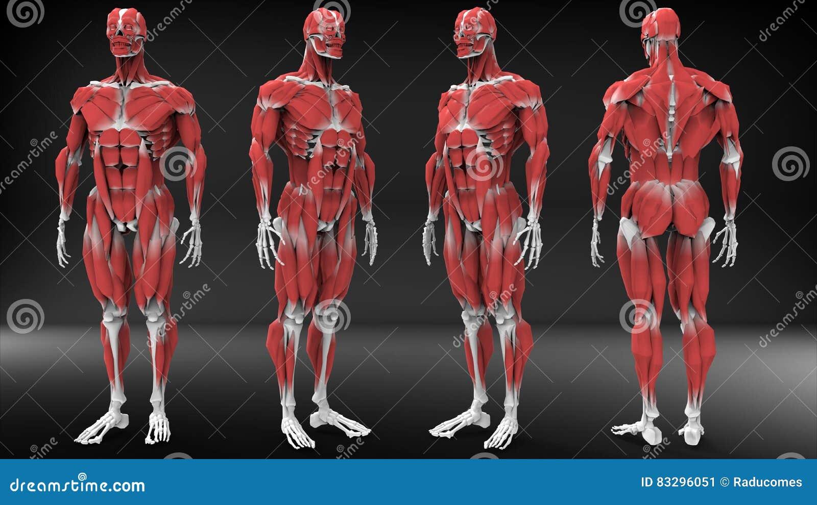 Manlig anatomisikt