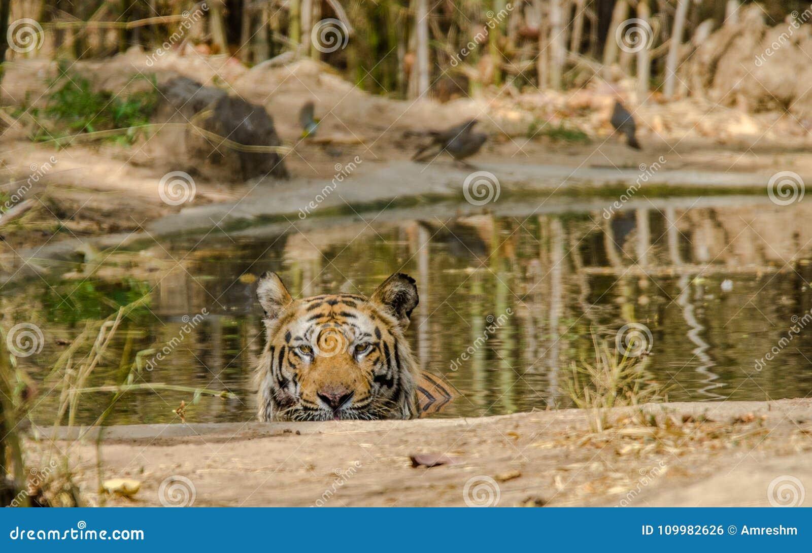 Manlig Bengal tiger