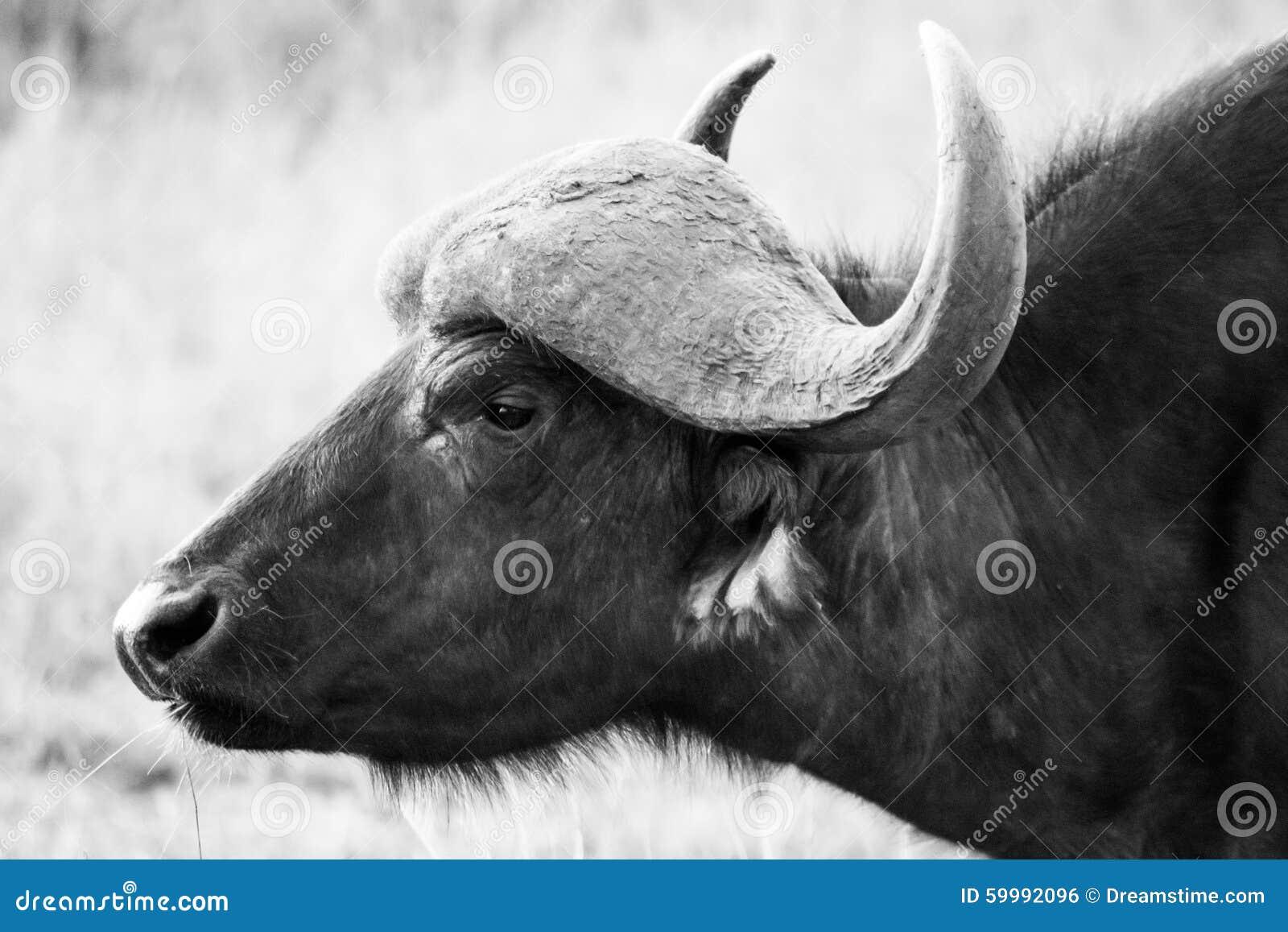 Manlig buffel