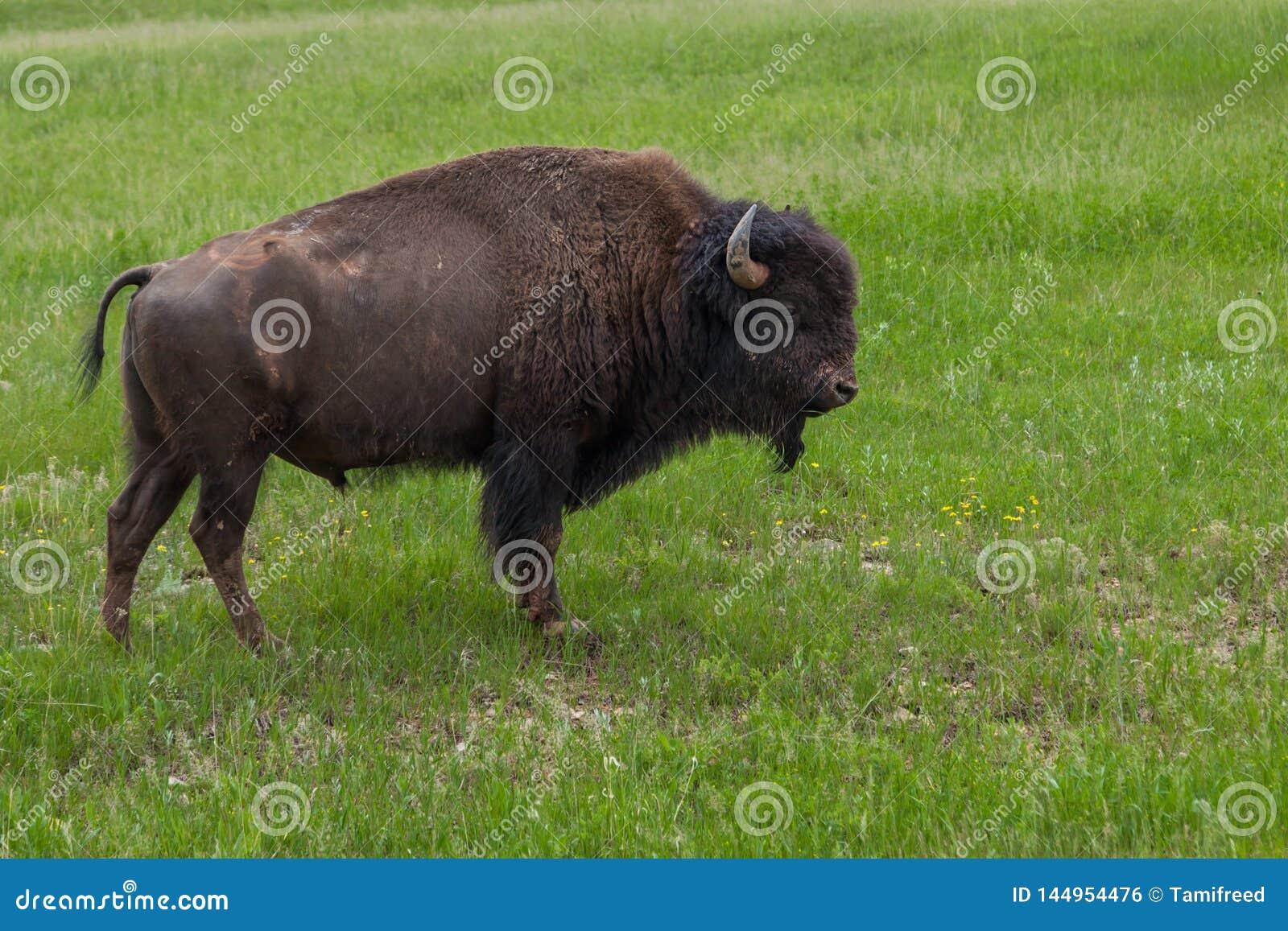 Manlig buffel på en backe
