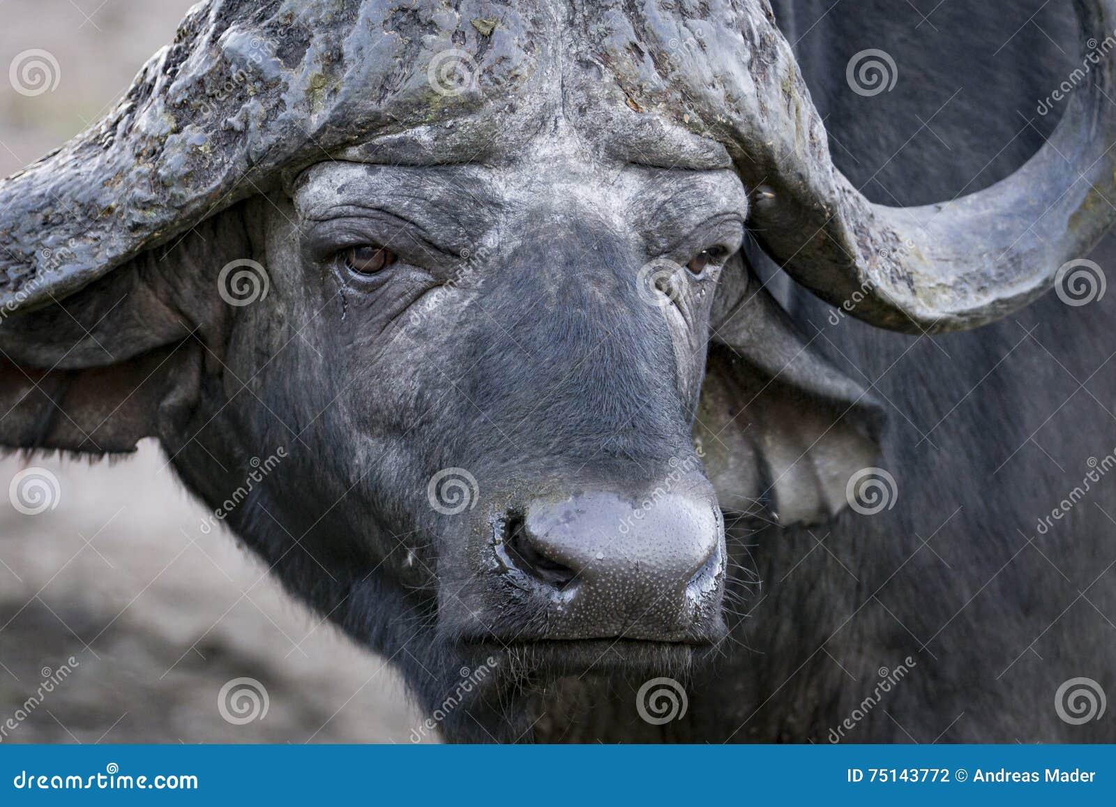 Manlig buffelstående