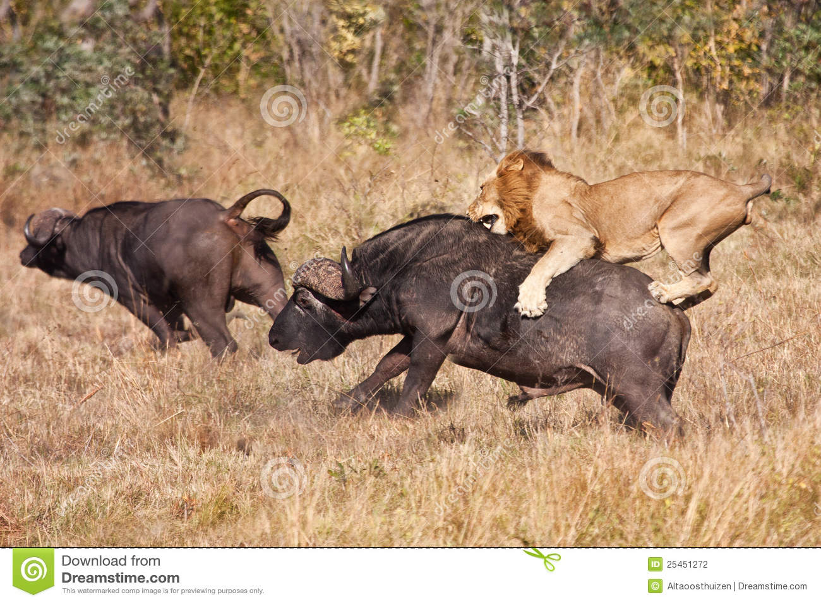 Manlig för lion för attackbuffeltjur enorm