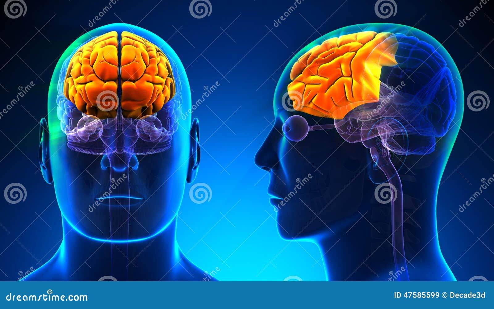 Manlig Frontal lob Brain Anatomy - blått begrepp
