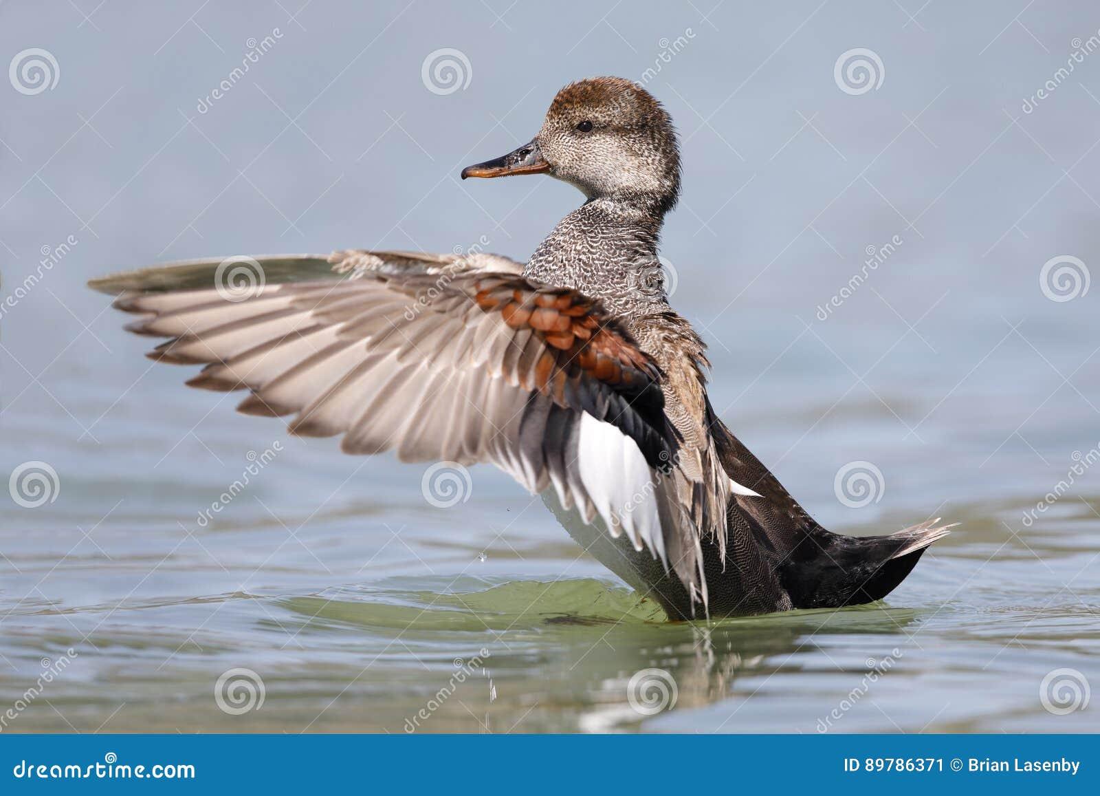 Manlig Gadwall som viftar med dess vingar på en sjö - Kalifornien