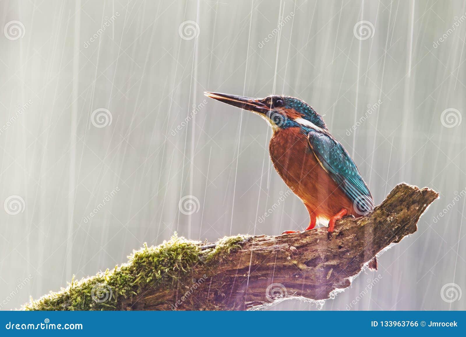 Manlig gemensam kungsfiskare i hällregn med solen som bakifrån skiner