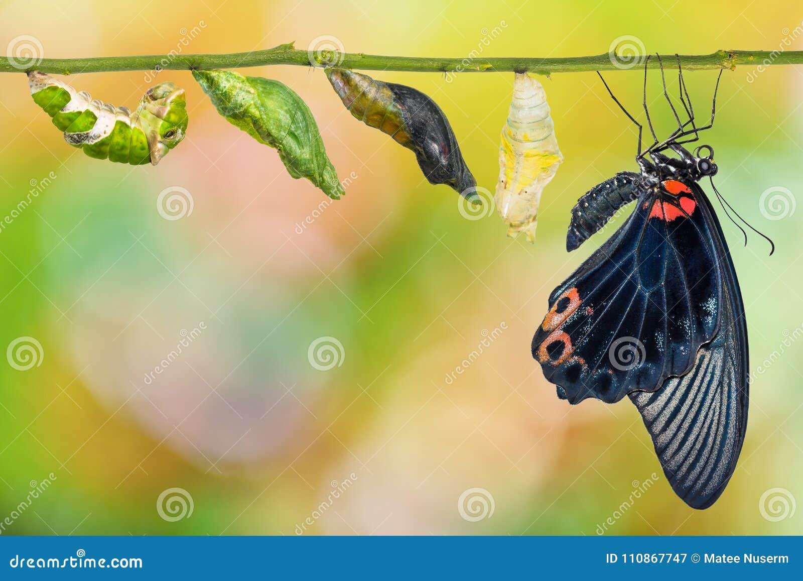 Manlig stor cirkulering för liv för fjäril för mormonPapilio memnon