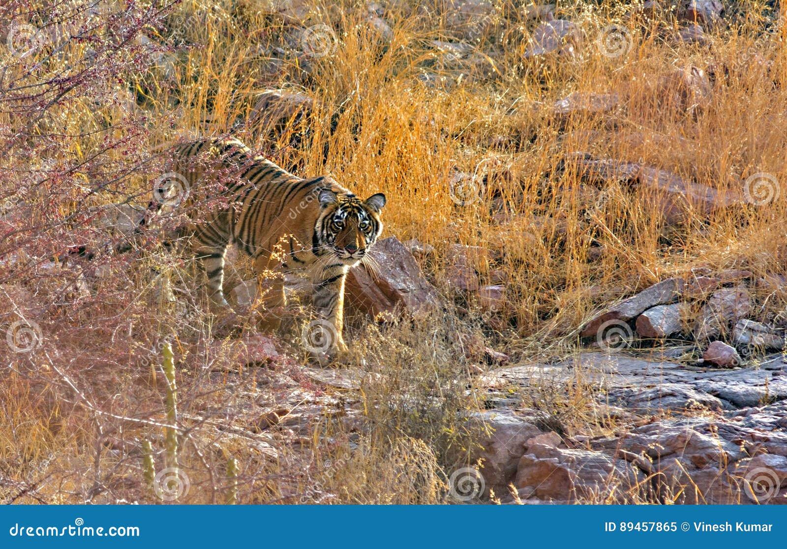 Manlig tigergröngöling