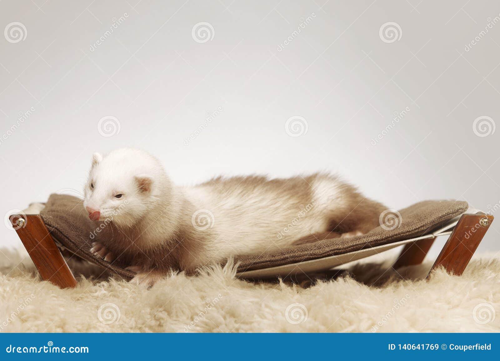 Manlig vessla av champagnefärg som sitter på soffan