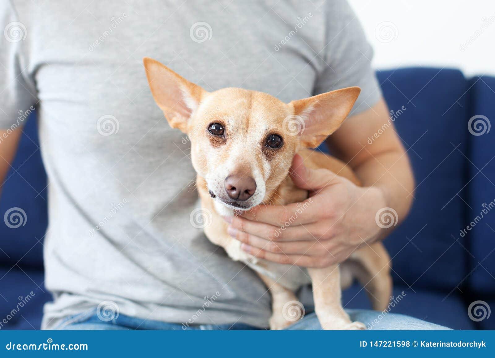 Manliga h?nder som sl?r en hund ?garen ?lskar hans hund Kamratskap mellan mannen och hunden Chihuahua i h?nderna av ?garen Unders