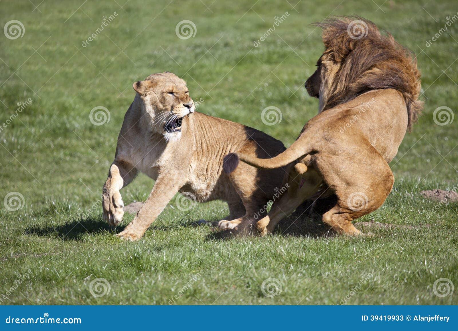 Manligt afrikansk lejon och lejoninna som påverkar varandra