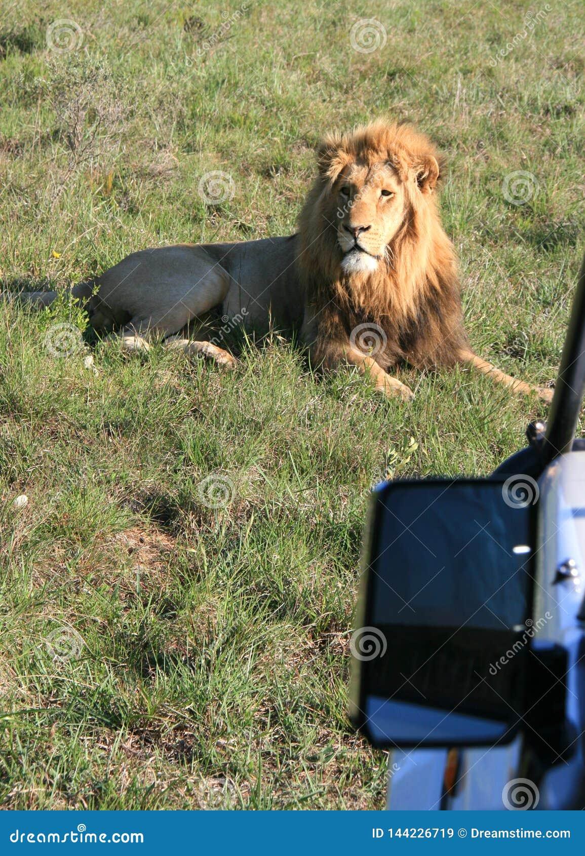 Manligt lejon som ligger på grönt gräs i Sydafrika med solnedgångsidobelysning med sidospegeln av fotosafarimedlet